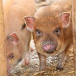 Unsere Minischweine und andere Tiere