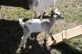 a small nanny goat